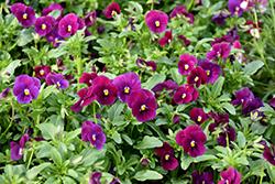 Sorbet Carmine Rose Pansy (Viola 'Sorbet Carmine Rose') at Roger's Gardens