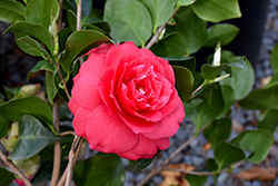 Rose Dawn Camellia (Camellia japonica 'Rose Dawn') at Roger's Gardens