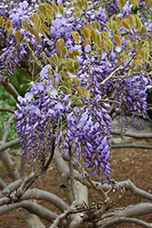 Japanese Wisteria (Wisteria japonica) at Roger's Gardens