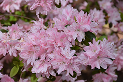 Pink Pearl Azalea (Rhododendron 'Pink Pearl') at Roger's Gardens