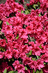 Red Ruffles Azalea (Rhododendron 'Red Ruffles') at Roger's Gardens