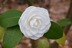 Nuccio's Gem Camellia (Camellia japonica 'Nuccio's Gem') at Roger's Gardens