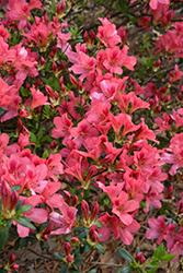 Duc de Rohan Azalea (Rhododendron 'Duc de Rohan') at Roger's Gardens