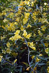 Carolina Yellow Jessamine (Gelsemium sempervirens) at Roger's Gardens
