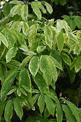 Cartwheel Variegated Stauntonia Vine (Stauntonia hexaphylla 'Cartwheel') at Roger's Gardens