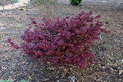 Hime Shojo Japanese Maple (Acer palmatum 'Hime Shojo') at Roger's Gardens
