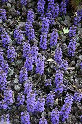 Black Scallop Bugleweed (Ajuga reptans 'Black Scallop') at Roger's Gardens