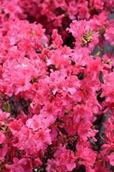 Girard's Variegated Gem Azalea (Rhododendron 'Girard's Variegated Gem') at Roger's Gardens