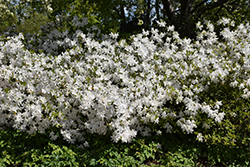 Mrs G.G. Gerbing Azalea (Rhododendron 'Mrs. G.G. Gerbing') at Roger's Gardens