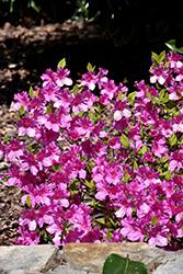 Formosa Azalea (Rhododendron indicum 'Formosa') at Roger's Gardens