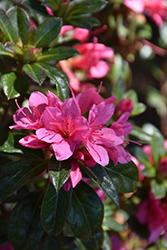 Encore Autumn Cheer Azalea (Rhododendron 'Conlef') at Roger's Gardens