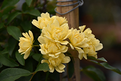 Lady Banks Rose (Rosa banksiae 'Lutea') at Roger's Gardens