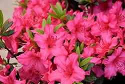 Girard's Rose Azalea (Rhododendron 'Girard's Rose') at Roger's Gardens