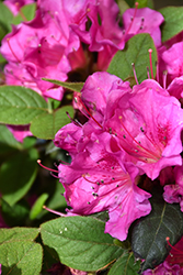 Encore Autumn Amethyst Azalea (Rhododendron 'Conlee') at Roger's Gardens