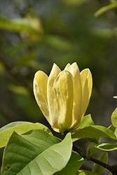 Yellow Bird Magnolia (Magnolia 'Yellow Bird') at Roger's Gardens