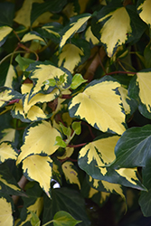 Gold Heart Ivy (Hedera helix 'Gold Heart') at Roger's Gardens