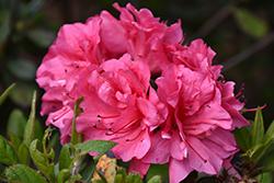 Encore Autumn Carnival Azalea (Rhododendron 'Conlet') at Roger's Gardens