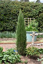 Blue Arrow Juniper (Juniperus scopulorum 'Blue Arrow') at Roger's Gardens