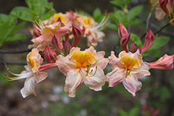 Pink Carousel Azalea (Rhododendron 'Pink Carousel') at Roger's Gardens