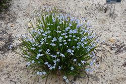 Narrowleaf Blue-Eyed Grass (Sisyrinchium angustifolium) at Roger's Gardens