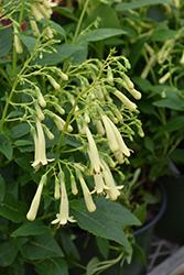 Lemon Frost Cape Fuchsia (Phygelius 'Lemon Frost') at Roger's Gardens