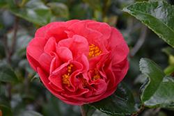 Kramer's Supreme Camellia (Camellia japonica 'Kramer's Supreme') at Roger's Gardens