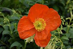 Wonderland Orange Poppy (Papaver nudicaule 'Wonderland Orange') at Roger's Gardens