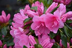 Pink Ruffles Azalea (Rhododendron 'Pink Ruffles') at Roger's Gardens