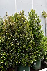 Bright 'N Tight Carolina Laurel (Prunus caroliniana 'Monus') at Roger's Gardens