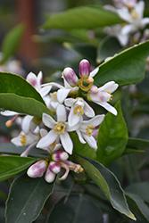 Lemon Drop Lemonquat (Citrofortunella 'Lemon Drop') at Roger's Gardens