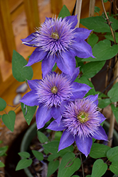 Multi Blue Clematis (Clematis 'Multi Blue') at Roger's Gardens