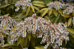 Purity Japanese Pieris (Pieris japonica 'Purity') at Roger's Gardens