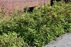 Shrub Yellowroot (Xanthorhiza simplicissima) at Roger's Gardens