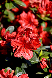 Girard's Scarlet Azalea (Rhododendron 'Girard's Scarlet') at Roger's Gardens
