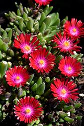 Jewel Of Desert Garnet Ice Plant (Delosperma 'Jewel Of Desert Garnet') at Roger's Gardens