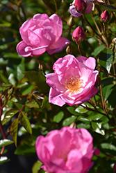 Thrive! Lavender Rose (Rosa 'Meibivers') at Roger's Gardens