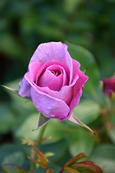 Violet's Pride Rose (Rosa 'WEKwibysicpep') at Roger's Gardens