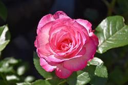 Miss Congeniality Rose (Rosa 'WEKpurmebep') at Roger's Gardens