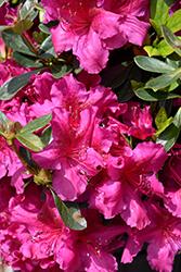 Girard's Fuchsia Evergreen Azalea (Rhododendron 'Girard's Fuchsia') at Roger's Gardens