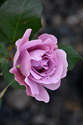 Angel Face Rose (Rosa 'Angel Face') at Roger's Gardens