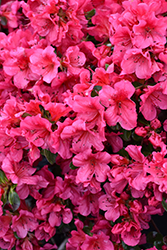 Girard's Crimson Azalea (Rhododendron 'Girard's Crimson') at Roger's Gardens