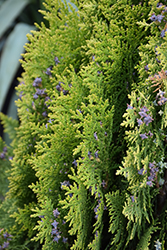 Westmont Arborvitae (Thuja orientalis 'Westmont') at Roger's Gardens