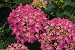 Pink Elf Dwarf Hydrangea (Hydrangea macrophylla 'Pink Elf') at Roger's Gardens