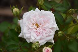 White Drift Rose (Rosa 'Meizorland') at Roger's Gardens
