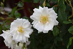 Flower Carpet White Rose (Rosa 'Flower Carpet White') at Roger's Gardens