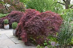 Crimson Queen Japanese Maple (Acer palmatum 'Crimson Queen') at Roger's Gardens