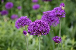 Purple Sensation Ornamental Onion (Allium 'Purple Sensation') at Roger's Gardens