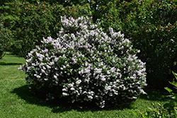 Miss Kim Lilac (Syringa patula 'Miss Kim') at Roger's Gardens