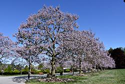 Royal Empress Tree (Paulownia tomentosa) at Roger's Gardens