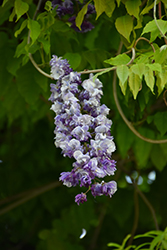 Double Japanese Wisteria (Wisteria floribunda 'Violacea Plena') at Roger's Gardens